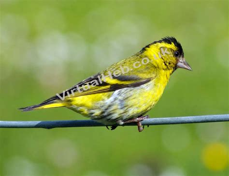 siskins western isles birds birdlife and bird