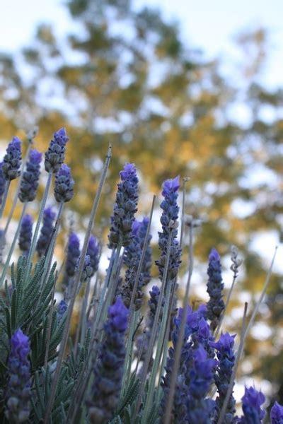 lavendel in de keuken lavendel topper in huis tuin en keuken nieuws