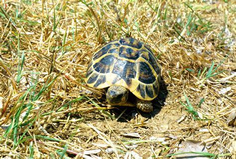 lada per tartarughe di terra sardegna digitallibrary immagini tartaruga di terra