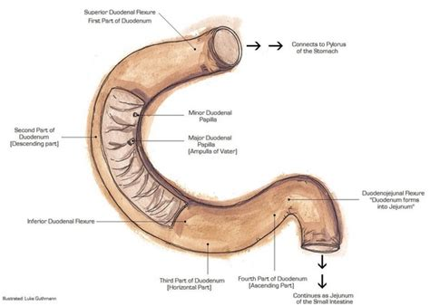 what is the first section of the small intestine d 252 nndarm intestinum tenue aufbau funktionen erkrankungen