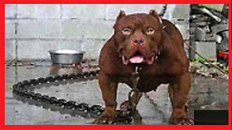 top 10 most dangerous dogs most dangerous in the world top ten