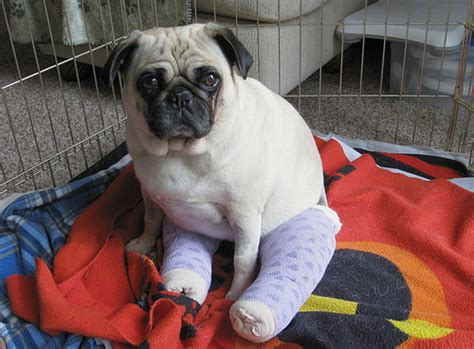 pug health pugs health problems www pugs co uk