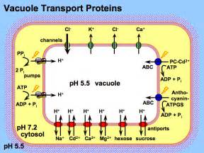 Proton Membrane How Does A Cell Regulate What Leaves Its Vacuole