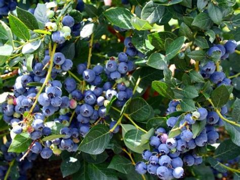 top hat blueberry plant bonsai patio outdoors