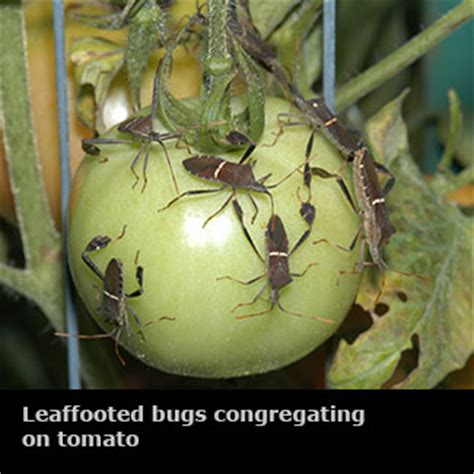 vegetable garden insects insects vegetable gardens mississippi state