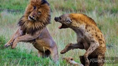 peleas de leones a muerte le 243 n vs perro pitbull pelea fatal a muerte youtube