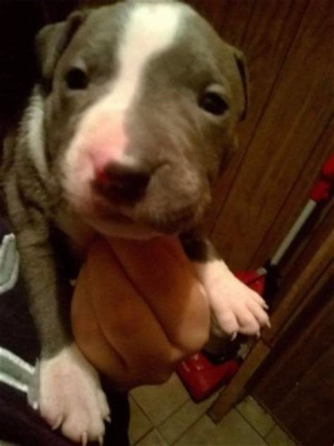 5 week pitbull puppy feeding a puppy thriftyfun