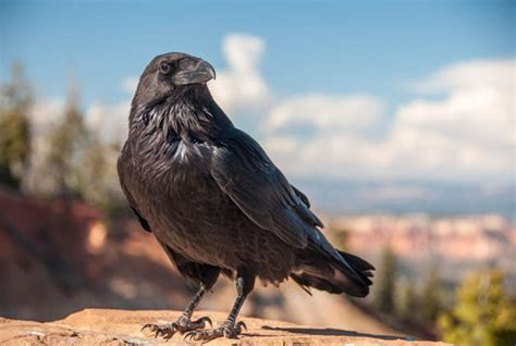 Swedish Style ten things you never knew about ravens top 10 facts life amp style express co uk