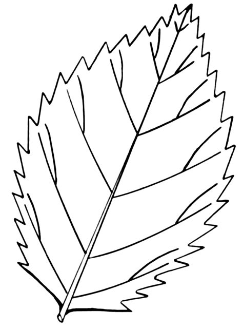 coloring page parts of a leaf file serrated leaf psf png wikimedia commons