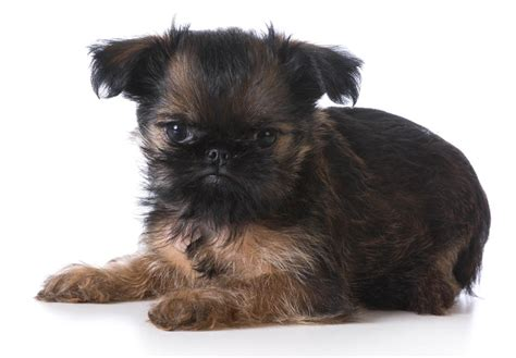 brussels griffon puppy brussels griffon images breeds picture