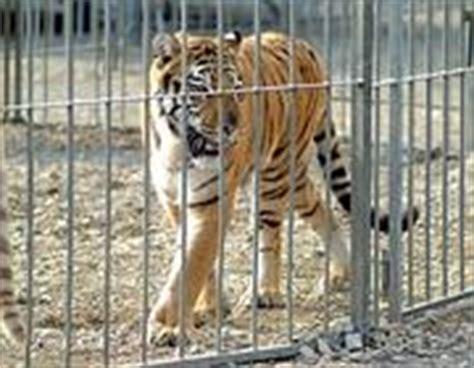 tigre in gabbia nei circhi elefanti obesi e tigri sotto stress corriere