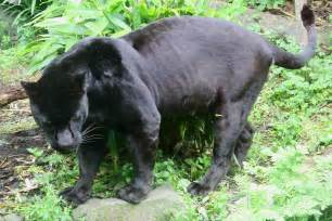 what color is a panther file black jaguar panthera onca jpg