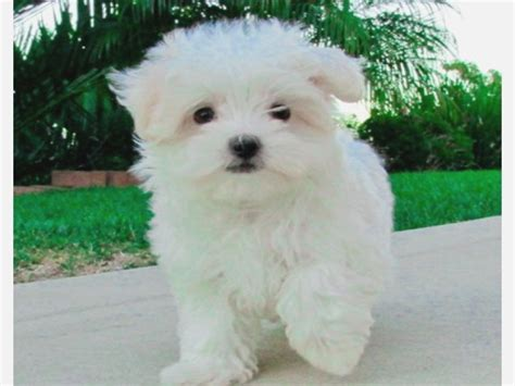 maltese puppies for sale near me white maltese puppies for sale near me dipoindexing