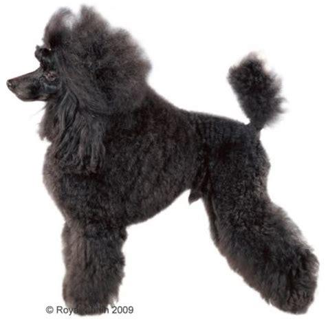 Royal Canin Poodle 1 5kg Rc Poodel Royal Canin Poodel hunde lieben royal canin poodle