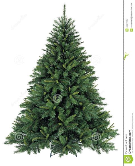 bare christmas tree without decoration stock photo image