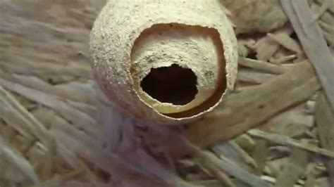 Wasp Nest In Shed by Image Gallery Hornets Nest In Shed