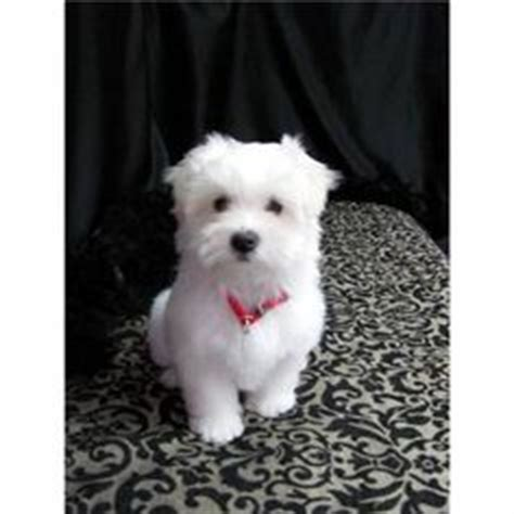 boy maltese haircuts 1000 images about puppy haircuts on pinterest maltese