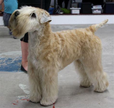 are there short hair wheaten terrier short hair wheaten terrier roxy s big day 14 photos