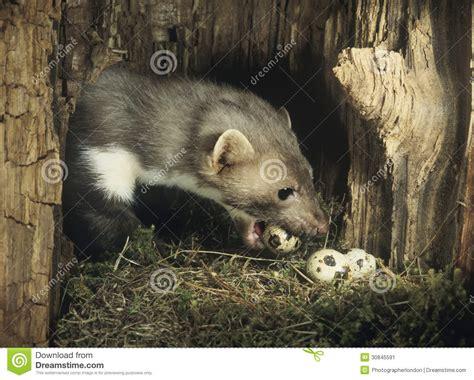 stehlen designerlen wiesel der eier vom nest stiehlt stockbild bild 30845591