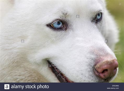 white dogs with blue up of husky dogs blue beautiful white siberian husky stock photo