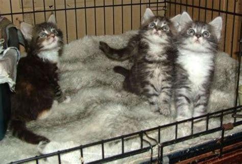 pomeranian puppies for sale in el paso tx pets el paso tx free classified ads