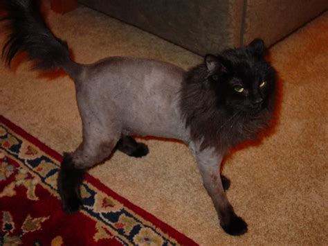 cat haircuts gone wrong why you should get your cat a lion cut this summer