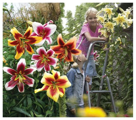 van bourgondien giant hybrid lilies mixed 4 bulbs qvc com