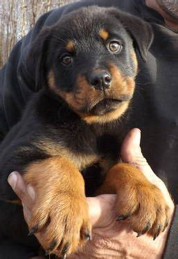 buy rottweiler from germany 25 best ideas about german rottweiler on rottweiler puppies for sale