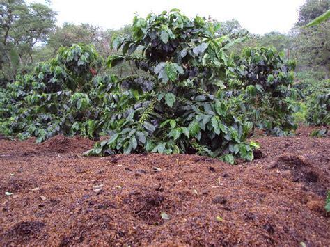 Kulit Kopi Pakan Ternak limbah cangkang kopi sumber pupuk dan pakan ternak oleh