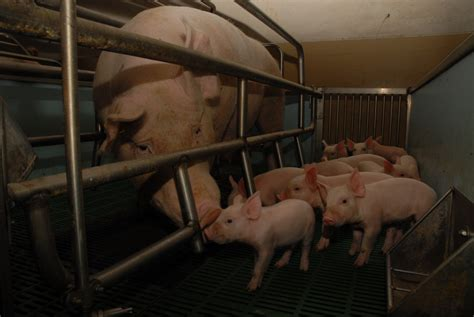 gabbie per maiali maiali essere animali diverse specie un pianeta