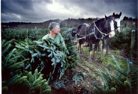 shire horses at work at christmas tree farm chesham
