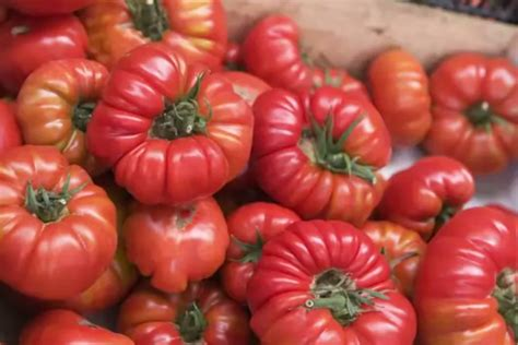 heirloom tomatoes explained in vanity fair s snob s dictionary video