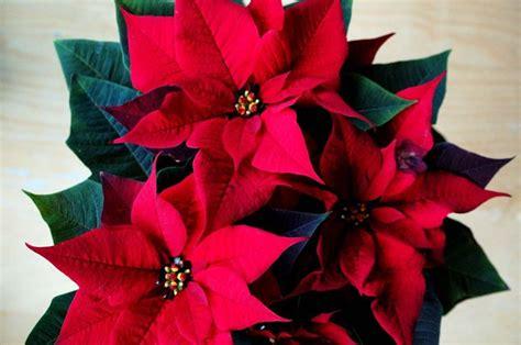 fiore natale cura stella di natale piante appartamento curare la