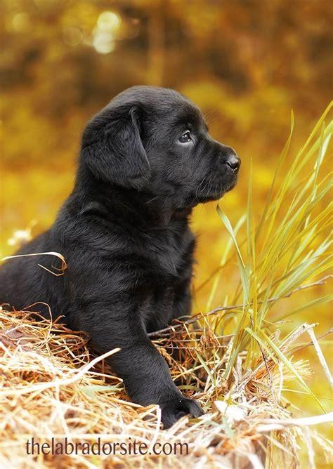 6 week puppy care 25 beste idee 235 n zwarte lab puppies op zwarte labradors lab puppies