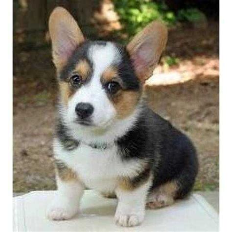 corgi puppies for adoption free puppies for adoption pets world