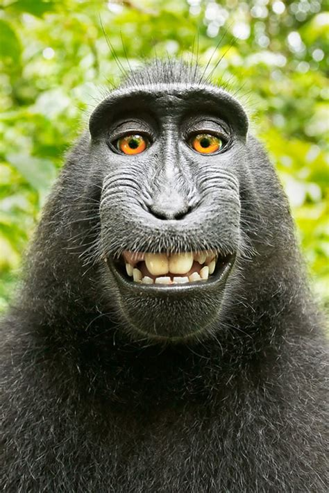 peta sues photographer david slater to try and get a why did peta sue over a monkey selfie reader s digest