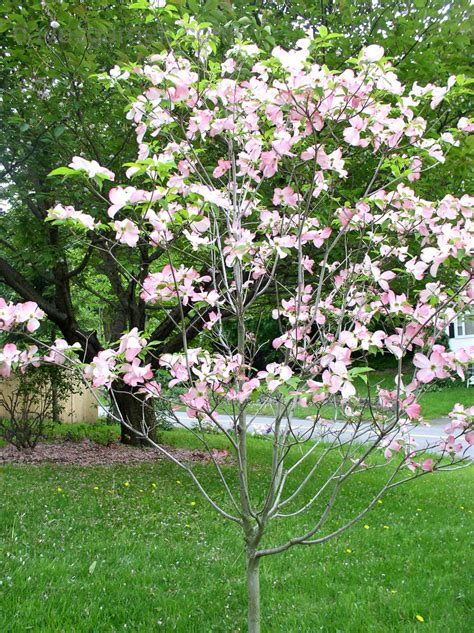 plantfiles pictures pink flowering dogwood cornus florida f rubra by sofonisba