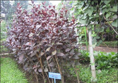 daun ungu herbal indo utama jual ekstrak daun ungu