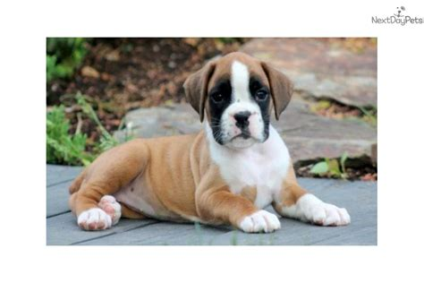 akc boxer puppies for sale near me boxer puppy for sale near lancaster pennsylvania db783532 98b1