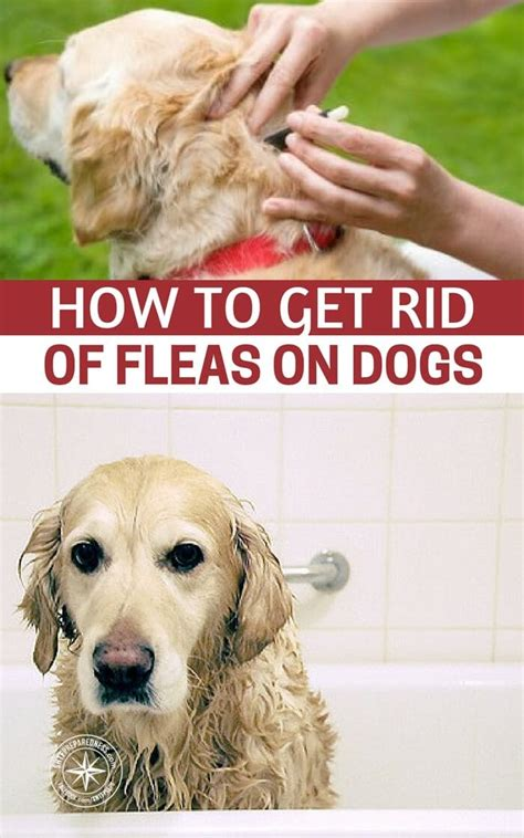 getting rid of fleas on dogs and in the house getting rid of fleas on dogs and in the house 28 images best way to get rid of