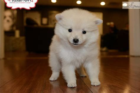 pomeranian puppies washington pomeranian puppy for sale near washington dc 2629be9e d661