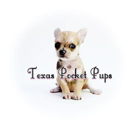 teacup chihuahua puppies for sale in houston texas teacup chihuahua puppies for sale in houston texas