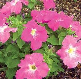 yard and garden petunias iowa state university