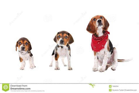 stages of puppies beagle puppy growth stages stock images image 7565234
