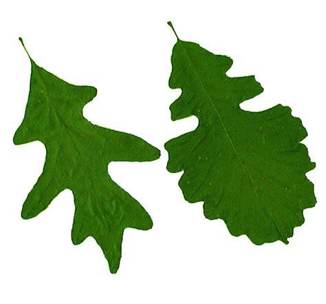 Oak Leaves Cliparts Co White Oak Leaf