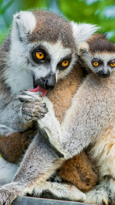 wallpaper lemurs lemur animals cute animals summer