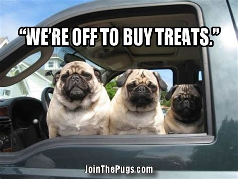 pugs in the car join the pugs pugs