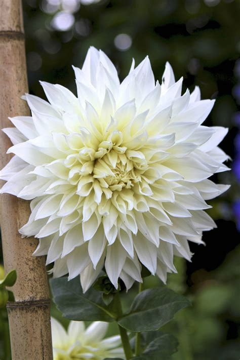 Dahlia White growing dahlias eat drink garden santa barbara