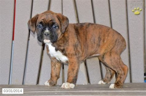 boxer puppies ohio boxer puppy for sale in ohio boxer
