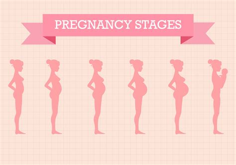 pregnancy stages free pregnancy stages vector free vector stock graphics images
